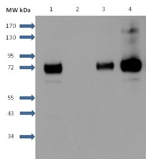 Sphingosine 1- Phosphate Receptor 1 Antibody   2B9 gallery image 7