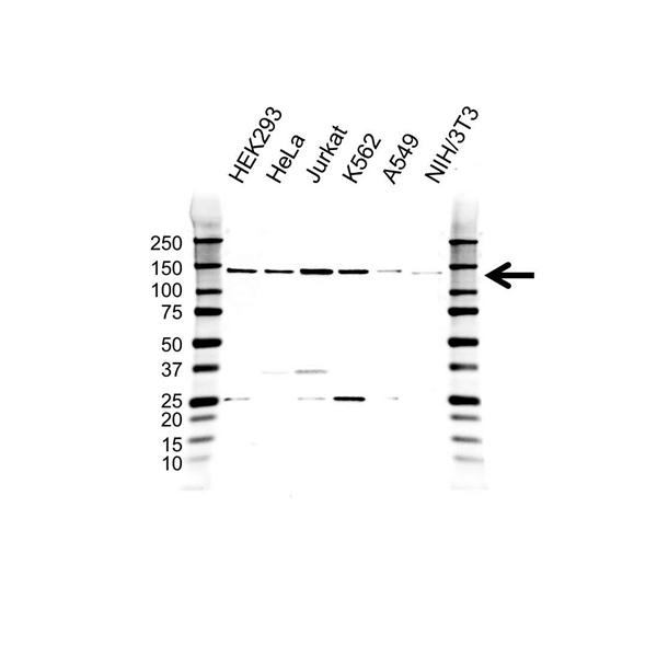 Splicing Factor 3B Subunit 2 Antibody (PrecisionAb<sup>TM</sup> Antibody) gallery image 1