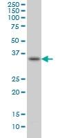 SPRY1 Antibody | 3H4 gallery image 2