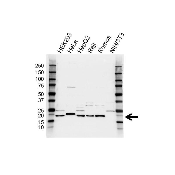 SRP14 Antibody (PrecisionAb<sup>TM</sup> Antibody) gallery image 1