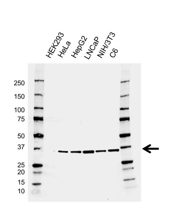 SRSF1 Antibody (PrecisionAb<sup>TM</sup> Antibody) | AB01/3A7 gallery image 1