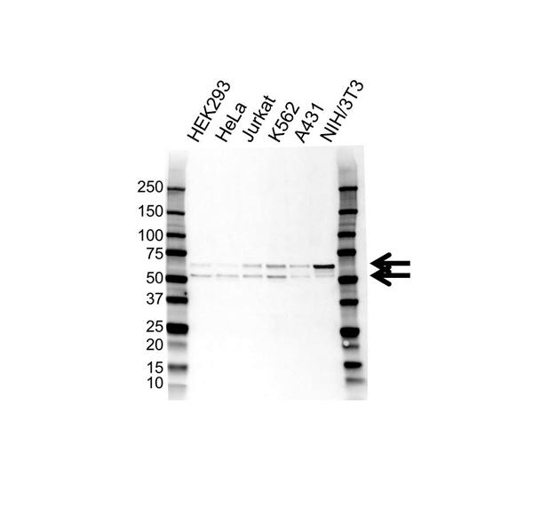 SS18 Antibody (PrecisionAb<sup>TM</sup> Antibody) gallery image 1
