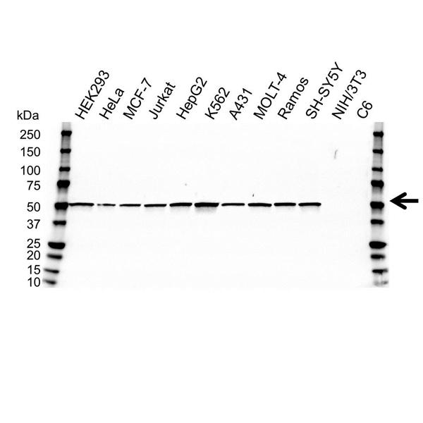 SSB Antibody (PrecisionAb<sup>TM</sup> Antibody) | OTI1E11 gallery image 1