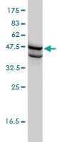 SSB Antibody | 1D6-H5 gallery image 2