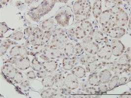 SSH3 Antibody | 6F9 gallery image 2