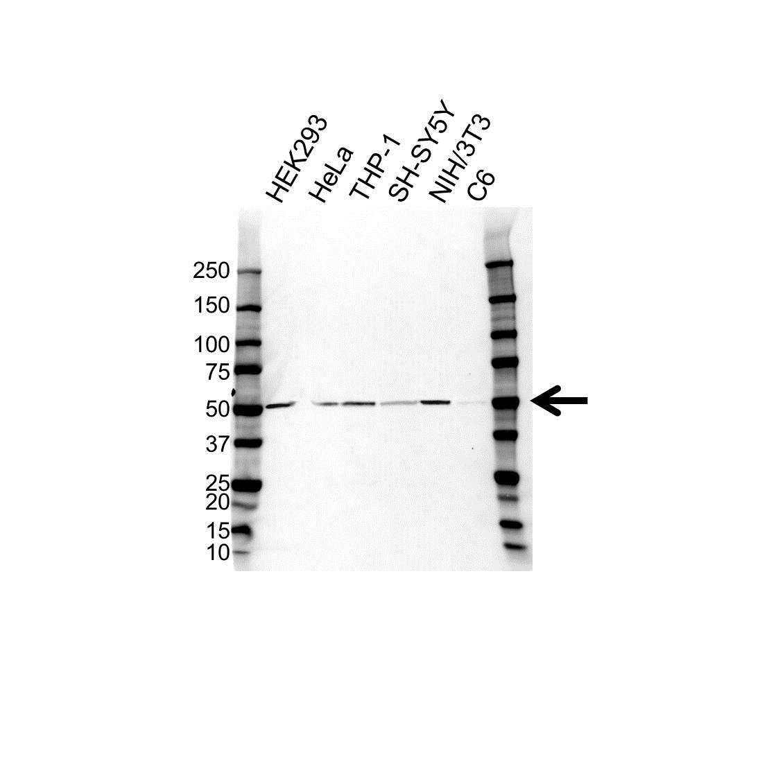 ST13 Antibody (PrecisionAb<sup>TM</sup> Antibody) gallery image 1