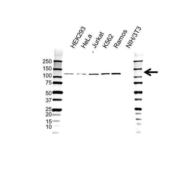 STAT2 Antibody (PrecisionAb<sup>TM</sup> Antibody) gallery image 1