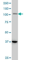 STAT2 Antibody | 5G7 gallery image 2