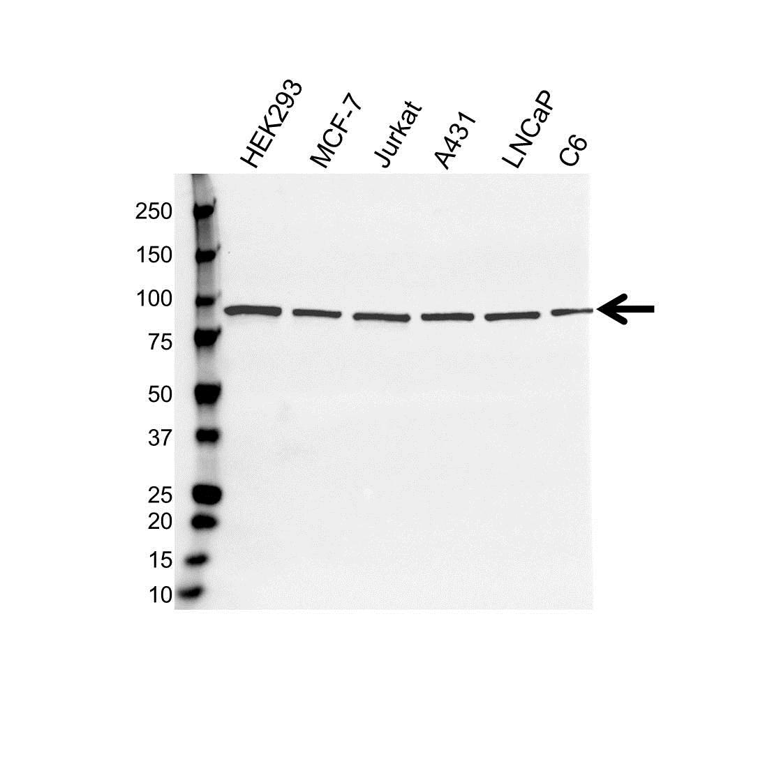 STAT3 Antibody (PrecisionAb<sup>TM</sup> Antibody) gallery image 1