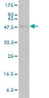 STAT4 Antibody | 1C2-1C12 gallery image 1