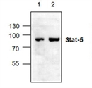 STAT5 Antibody thumbnail image 1