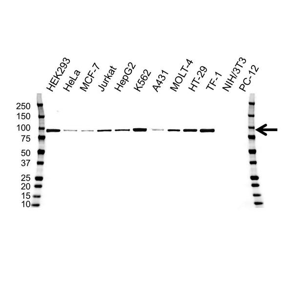 STAT5A Antibody (PrecisionAb<sup>TM</sup> Antibody) | OTI9F7 gallery image 1