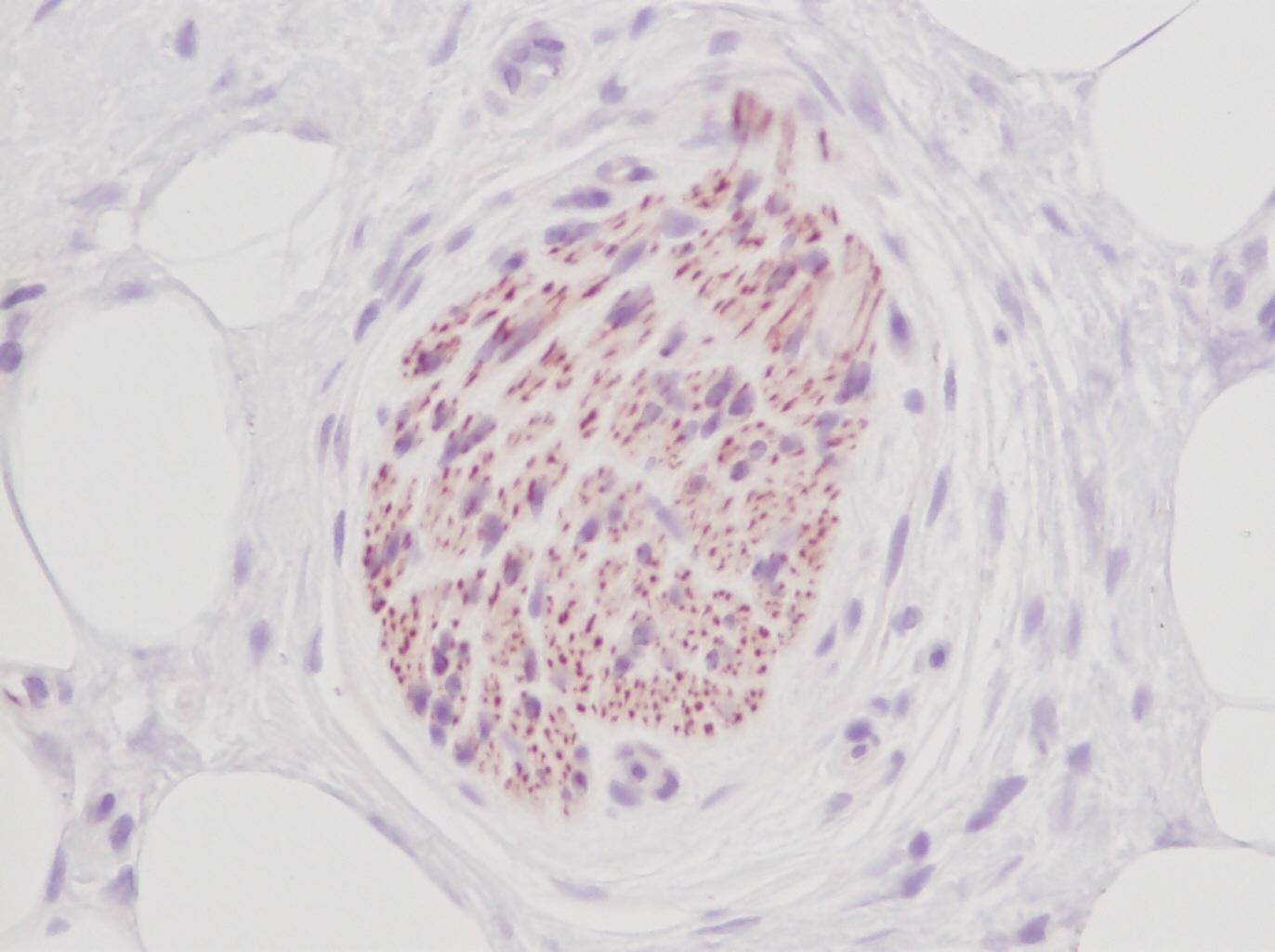 Stem Cell Factor Antibody gallery image 4