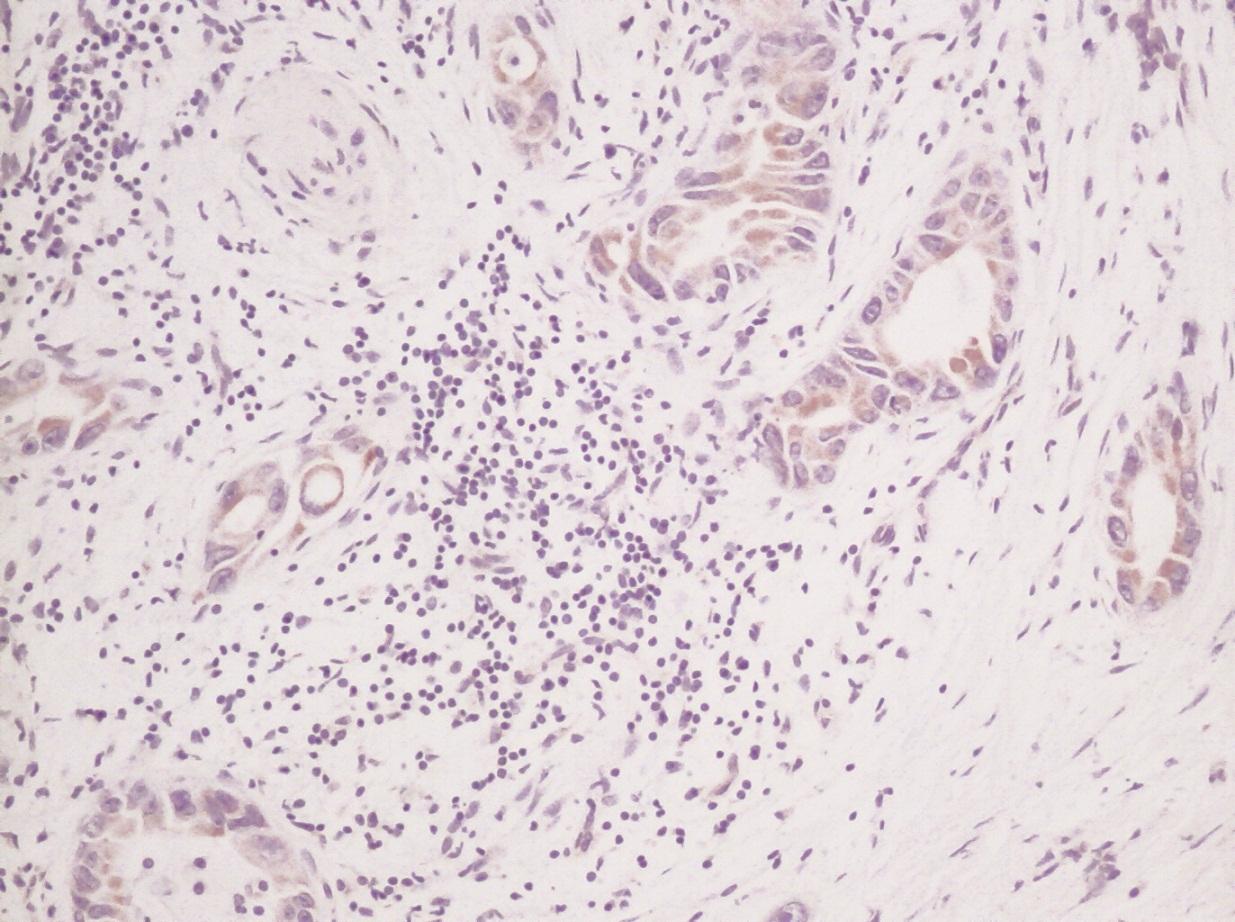 Stem Cell Factor Antibody gallery image 2