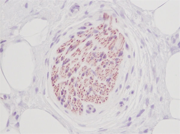 Stem Cell Factor Antibody gallery image 4