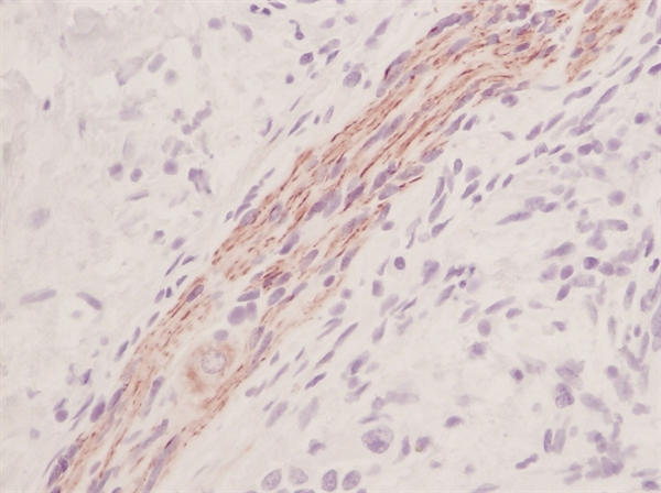 Stem Cell Factor Antibody gallery image 1