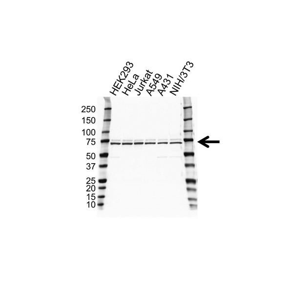 STIP1 Antibody (PrecisionAb<sup>TM</sup> Antibody) gallery image 1