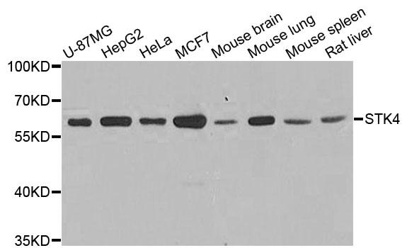 STK4 Antibody gallery image 1