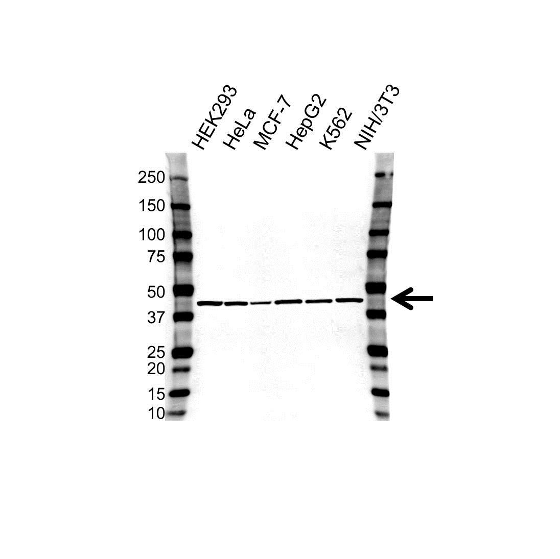 STOML2 Antibody (PrecisionAb<sup>TM</sup> Antibody) | OTI1G6 gallery image 1