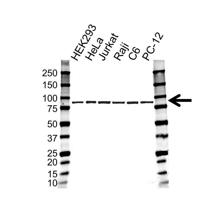 SUMO-1 Antibody (PrecisionAb<sup>TM</sup> Antibody) gallery image 1