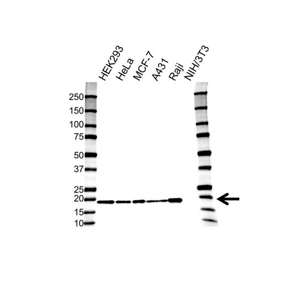 Superoxide Dismutase (Cu-Zn) Antibody (PrecisionAb<sup>TM</sup> Antibody) gallery image 1