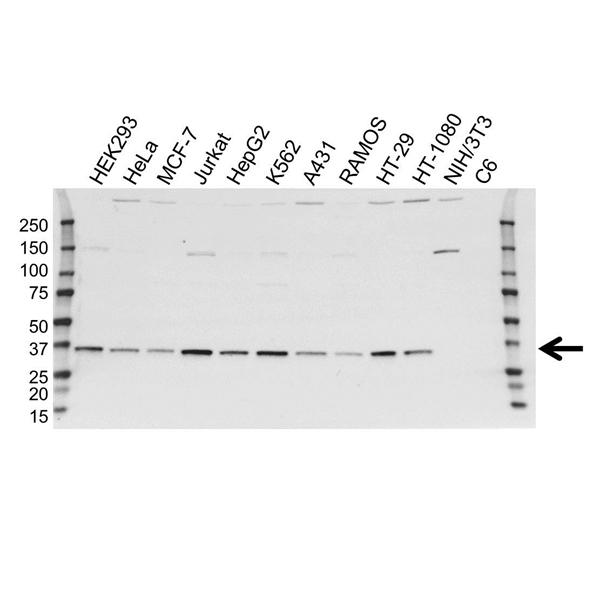 SUPT3H Antibody (PrecisionAb<sup>TM</sup> Antibody) | OTI3D1 gallery image 1