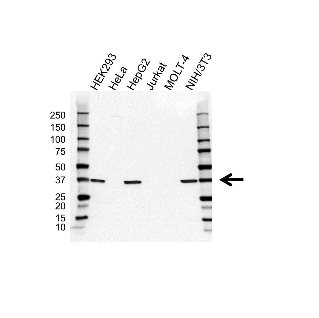SURF1 Antibody (PrecisionAb<sup>TM</sup> Antibody) gallery image 1