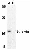Survivin Antibody gallery image 1
