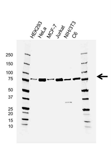 SUZ12 Antibody (PrecisionAb<sup>TM</sup> Antibody) | AB01/4F9 gallery image 1