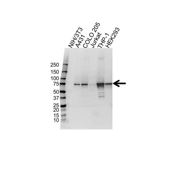Syk Antibody (PrecisionAb<sup>TM</sup> Antibody) gallery image 1