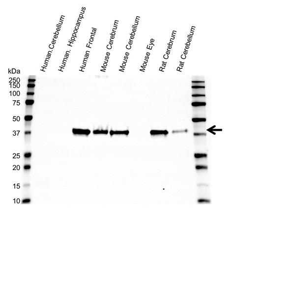 Synaptophysin Antibody (PrecisionAb<sup>TM</sup> Antibody) gallery image 1