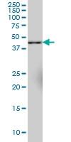 Synaptotagmin 11 Antibody | 4E1 gallery image 2