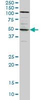 Synaptotagmin 4 Antibody | 5F8 gallery image 2