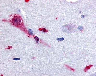 TAAR1 Antibody gallery image 1