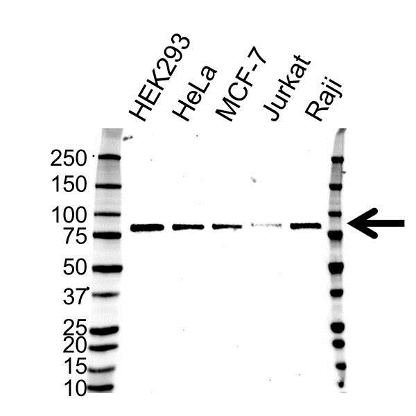 TAB2 Antibody (PrecisionAb<sup>TM</sup> Antibody) gallery image 1