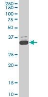 TAF11 Antibody | 3D3 gallery image 3