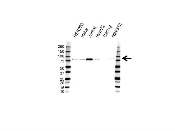 TAF15 Antibody (PrecisionAb<sup>TM</sup> Antibody) gallery image 1
