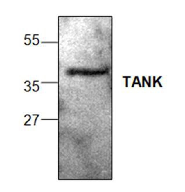 Tank Antibody gallery image 1