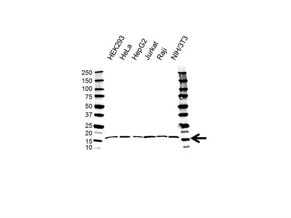 TCEB2 Antibody (PrecisionAb<sup>TM</sup> Antibody) gallery image 1