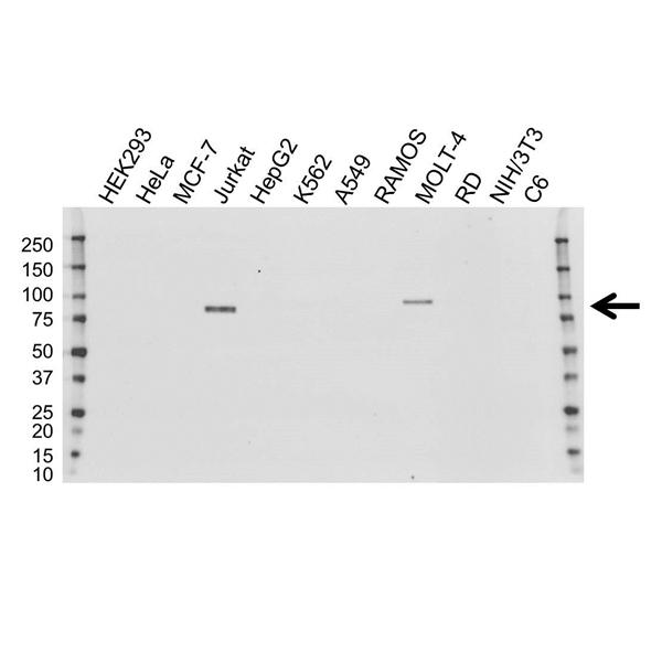 TCF12 Antibody (PrecisionAb<sup>TM</sup> Antibody) | OTI4D6 gallery image 1