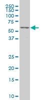 TCF4 Antibody | 3A4 gallery image 1
