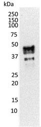 TCF7 Antibody | 1D2 gallery image 2