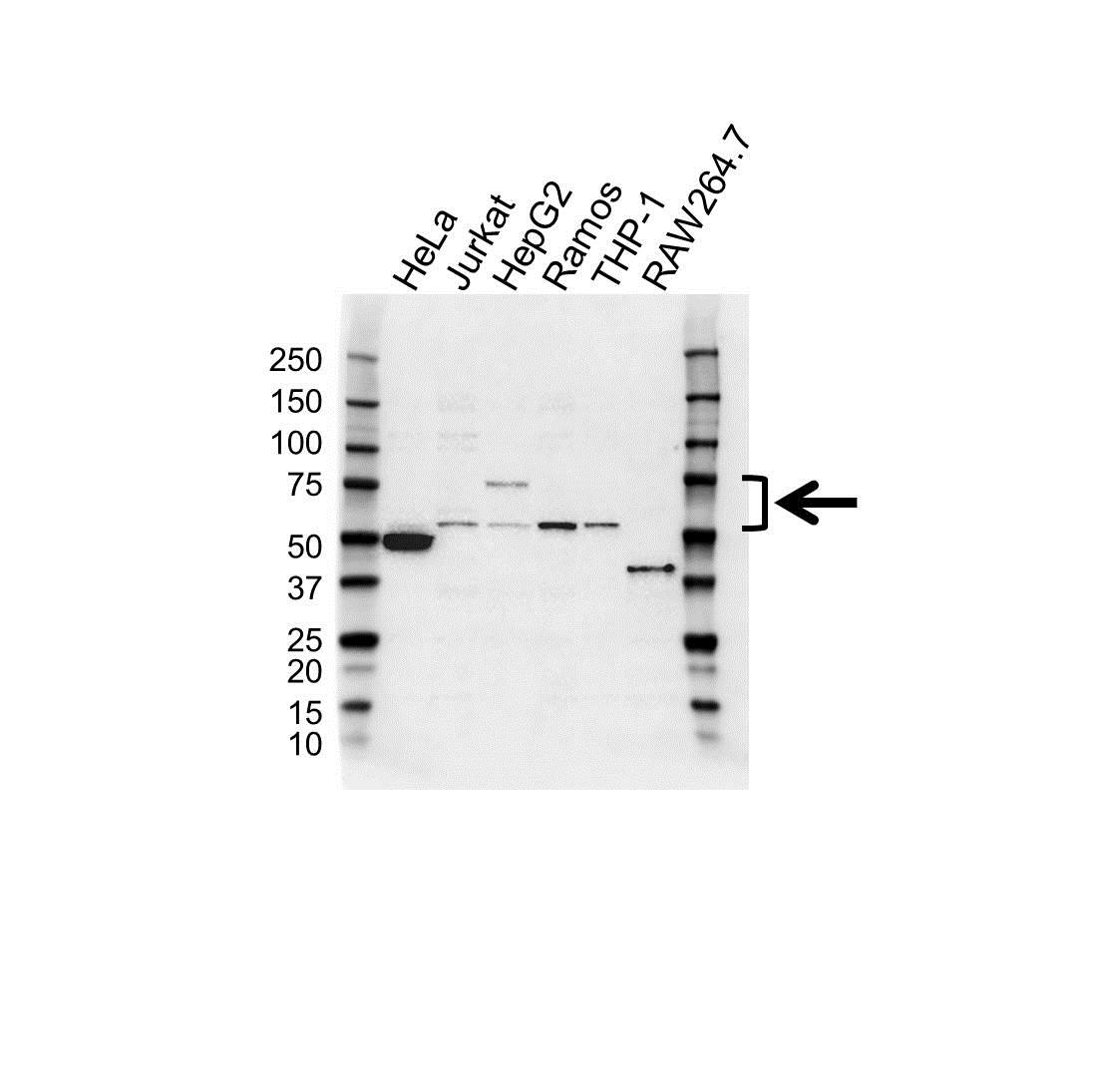 Tec Antibody (PrecisionAb<sup>TM</sup> Antibody) gallery image 1