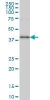 TFAP4 Antibody | 7A10 gallery image 1