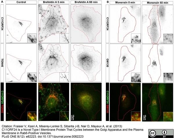 TGN46 Antibody gallery image 10