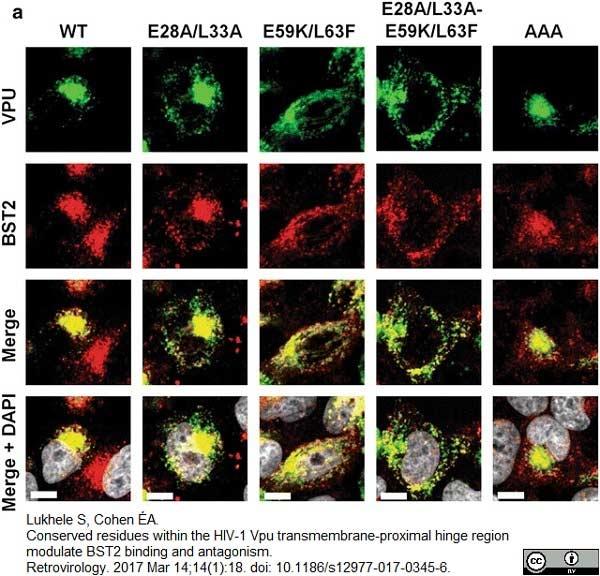 TGN46 Antibody gallery image 29