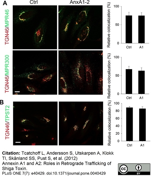 TGN46 Antibody gallery image 15