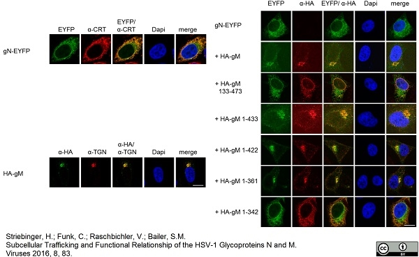TGN46 Antibody gallery image 2