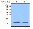 Thioredoxin Antibody | 3A1 thumbnail image 1