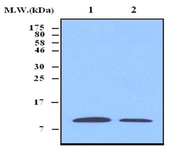 Thioredoxin Antibody | 3A1 gallery image 1